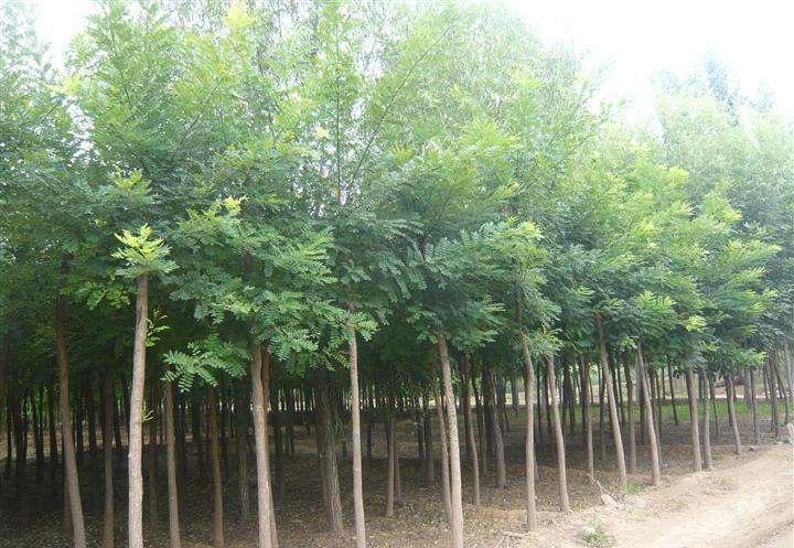 兰州国槐苗木