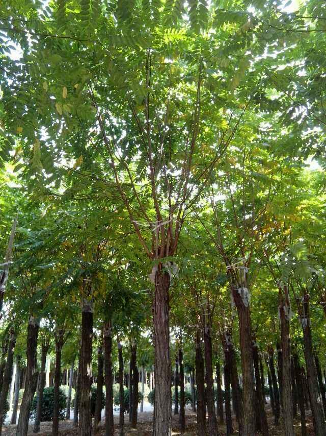 兰州香花槐苗木