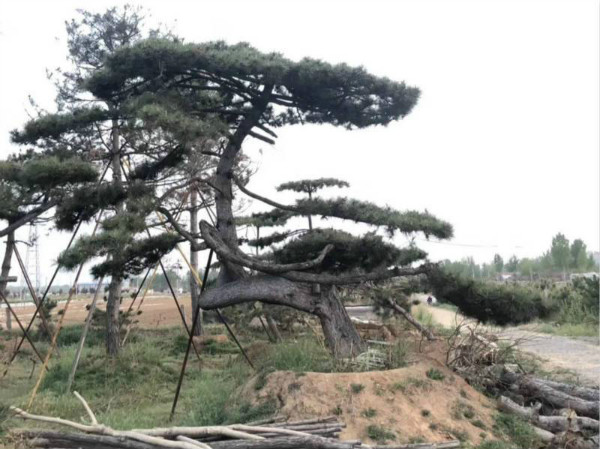 Modeling black pine