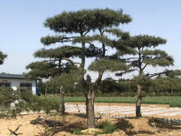 Landscape pine