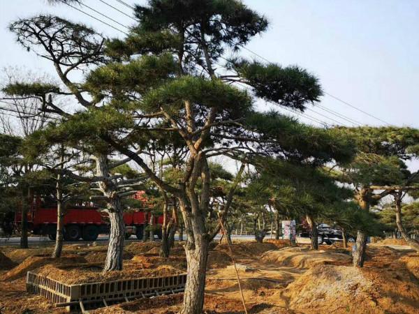 Modeling Pinus tabulaeformis