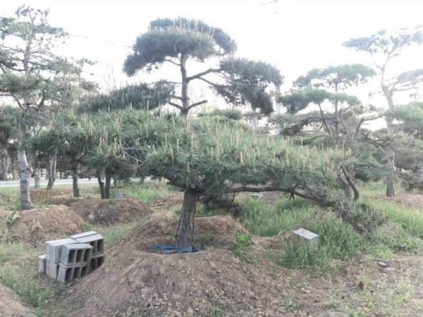 山东造型松树