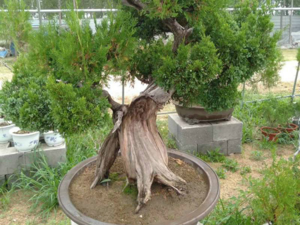 造型景观松树