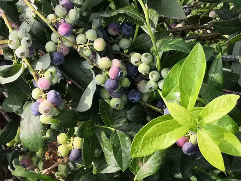 都克蓝莓苗