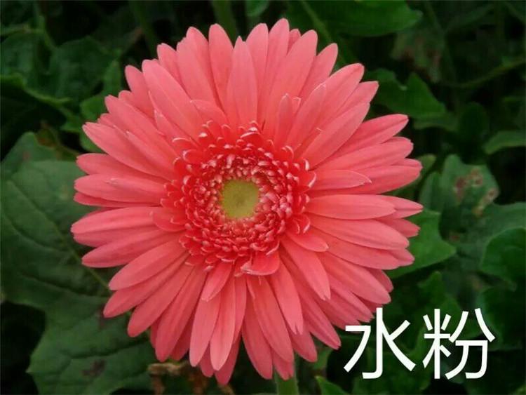非洲菊-水粉
