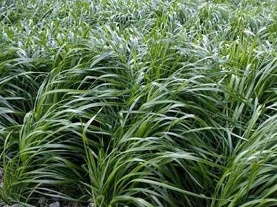 兰州黑麦草