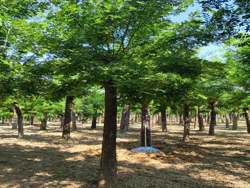 国槐树苗种植