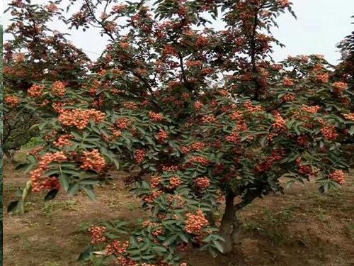 花椒树树苗种植