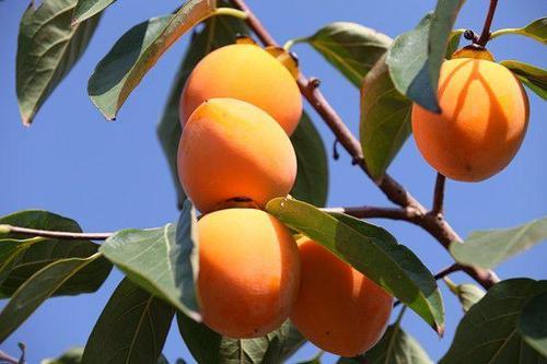 大尖柿子树种植