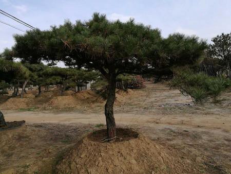 景观松苗木