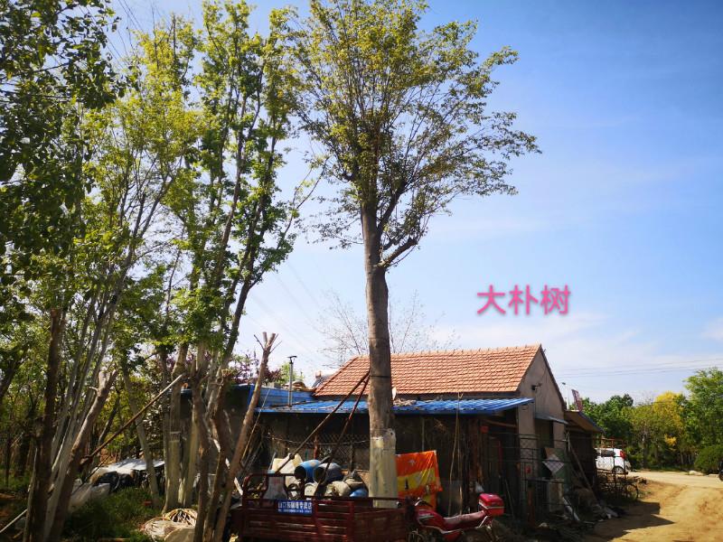 山东大朴树