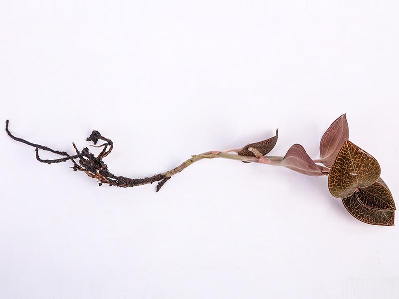 金线莲-琥珀鲜品