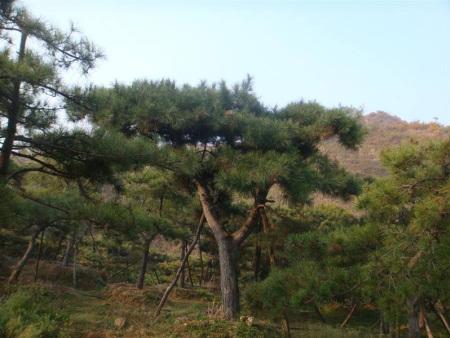 造型松苗木