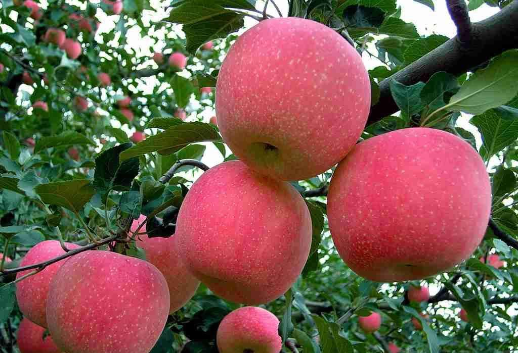 红富士苹果苗