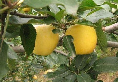 维纳斯黄金苹果苗