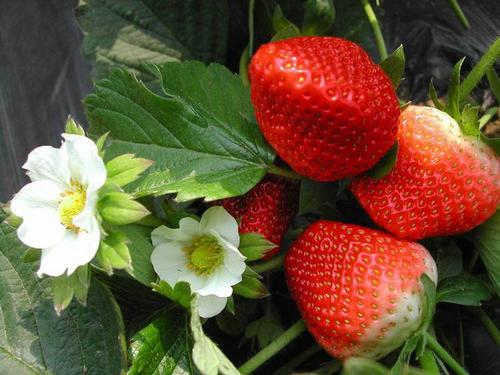 妙香七号草莓苗