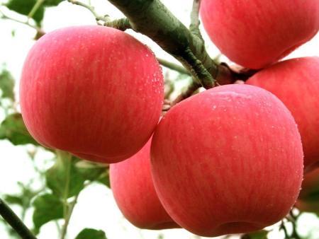 苹果苗品种