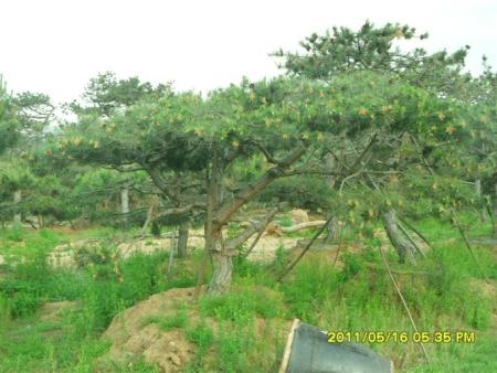 山東五角楓