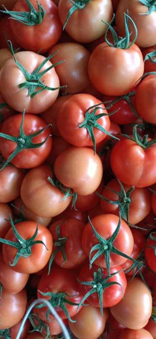 刚开园的大红柿子,0.7一0.9自己的基地一天十几万斤