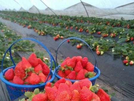 妙香草莓苗