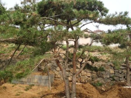 山東造型松樹