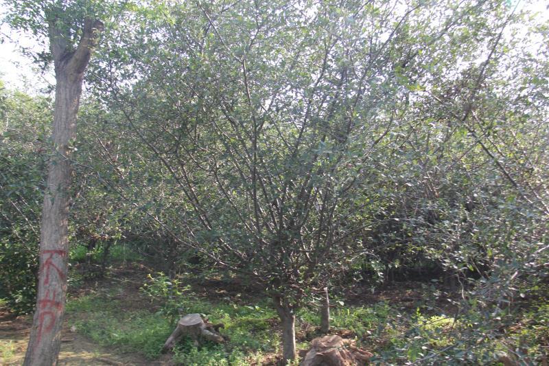 20公分柿子树