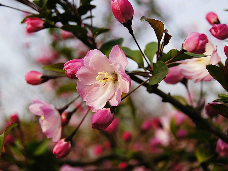 垂丝海棠树