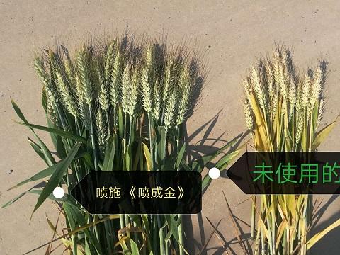 小麦代替尿素追肥