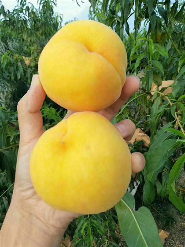 中桃金魁桃树苗