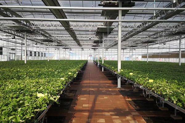 大棚草莓苗