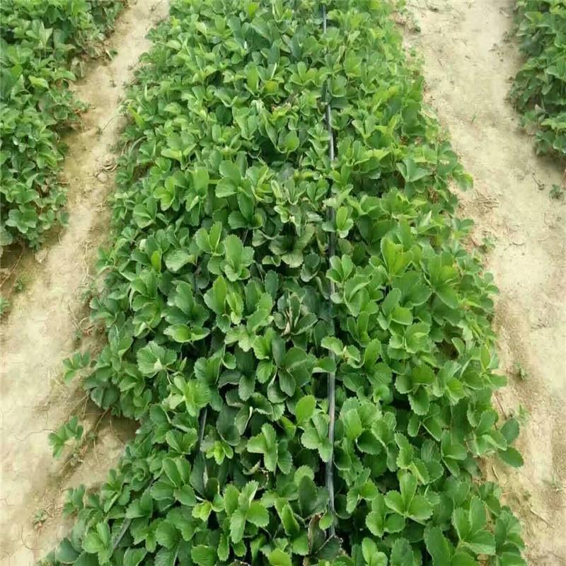 白雪公主草莓苗