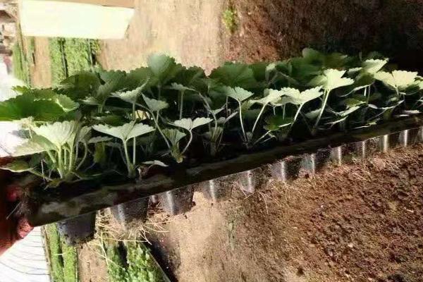 营养钵草莓苗基地
