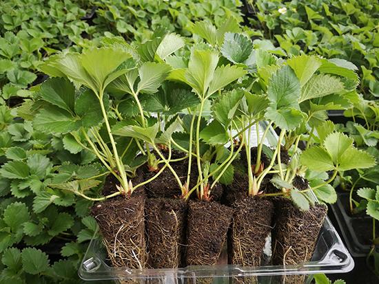 营养钵草莓苗种植