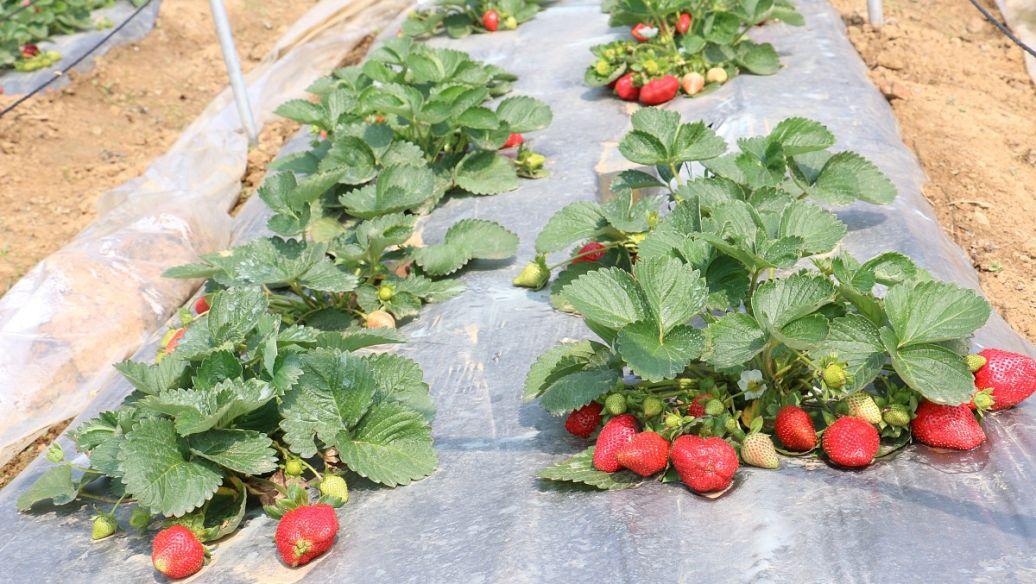 圣诞红草莓苗.jpg