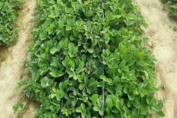山东草莓苗