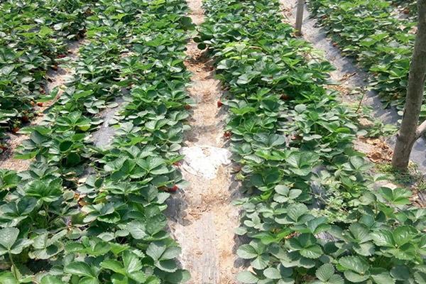 雪里香草莓苗