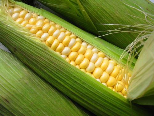 玉米棒子很大不结籽怎么办