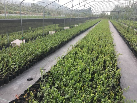 都克蓝莓苗基地