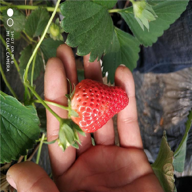 章姬草莓苗基地