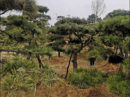 造型油松種植
