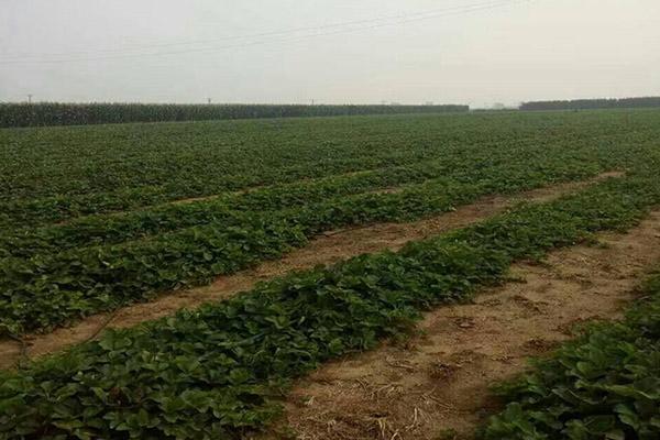 桃熏草莓苗基地