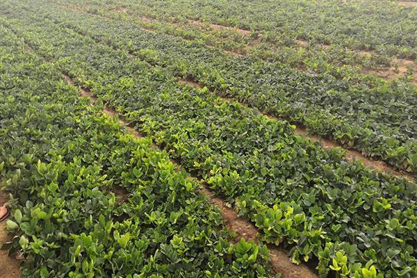 圣诞红草莓苗基地