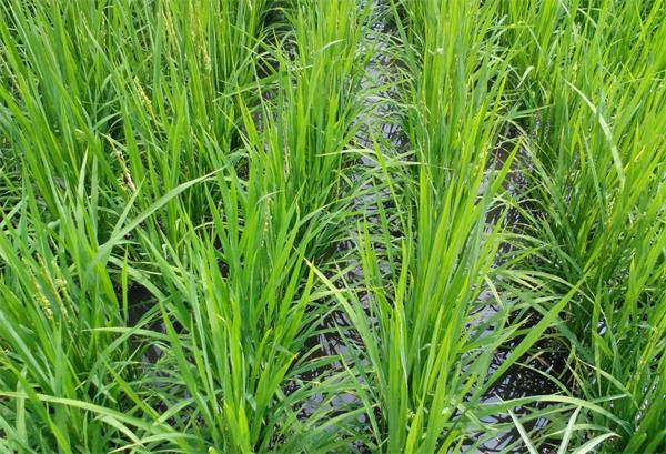 如何提高水稻产量