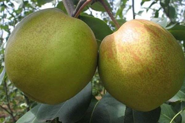 梨树苗新品种