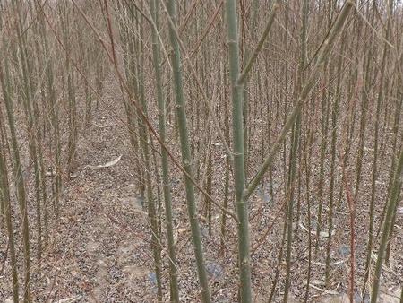 美国竹柳基地