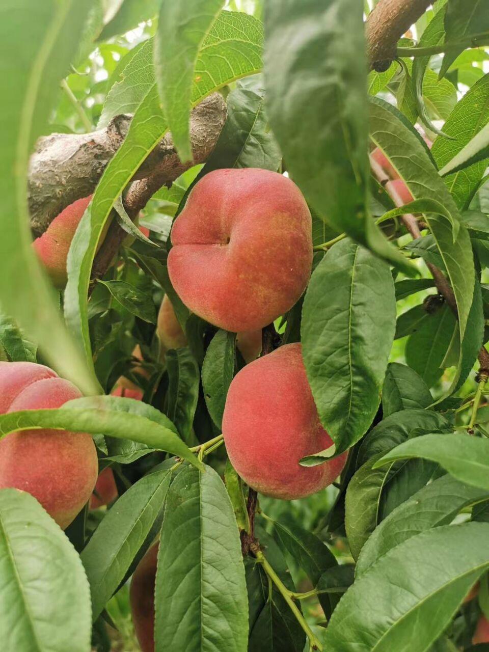 清风峪水果