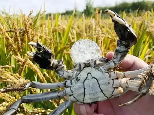 盤錦河蟹價格