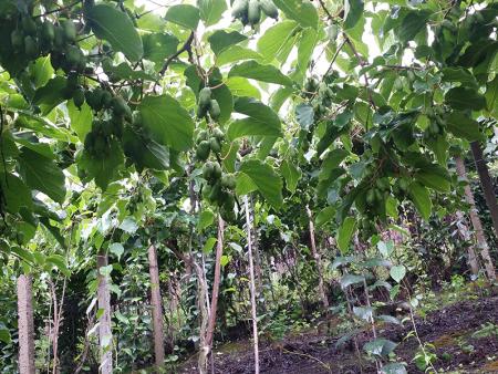 丹东软枣猕猴桃树苗