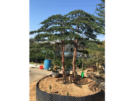 辽宁红豆杉