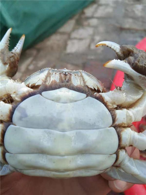 盘锦河蟹价格